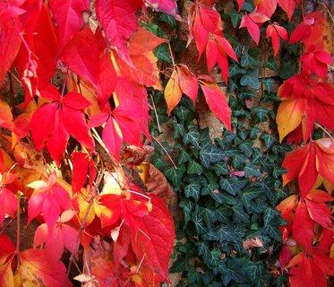 FOTKA - 11.10.2012, podzimní procházka, břečťan v zajetí barevných listů...