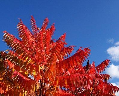 FOTKA - 11.10.2012, podzimní Kunratice, škumpa celá červená...