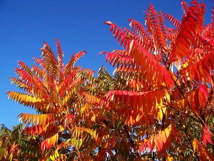 FOTKA - 11.10.2012, podzimní Kunratice, škumpy ve slunci..