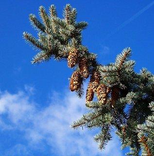 FOTKA - 11.10.2012, podzimní Kunratice, větev obalená šiškami....