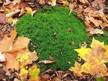 FOTKA - 12.10.12, zelený mech mezi listím..