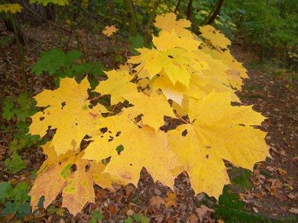 FOTKA - 12.10.12, žluté listí javoru..