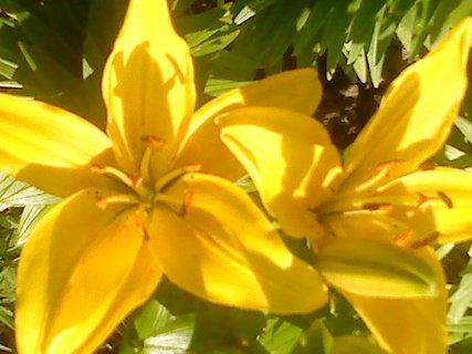 FOTKA - Žluté lilie se mi moc líbí
