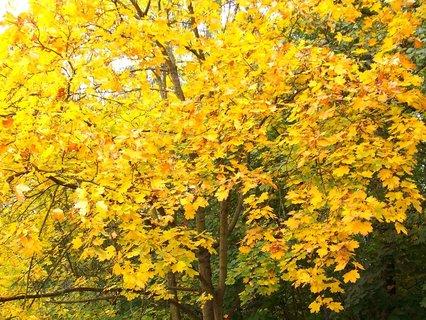 """FOTKA - včerejší podzimní procházka, """"zlatý javor"""""""