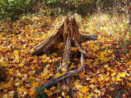 FOTKA - 18.10.12, odpolední procházka, kořen na mýtině..
