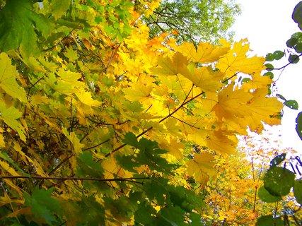 FOTKA - 18.10.12, listy javoru proti slunci..
