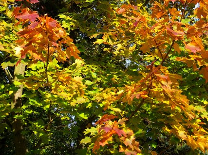 FOTKA - 18.10.12, zbarvený javor na kraji lesa..