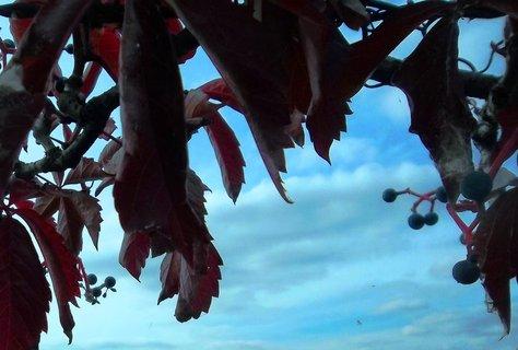 FOTKA - Obloha přes psí víno