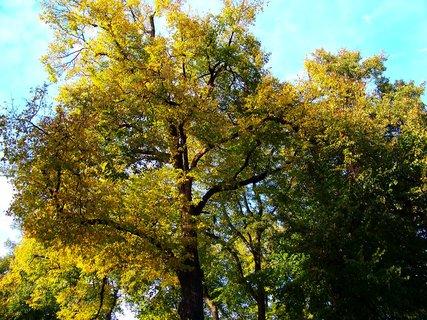 FOTKA - 19.10.2012, lípy ve slunci..