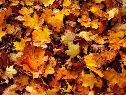 FOTKA - 19.10.2012, spadané javorové listí..