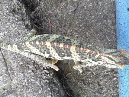 FOTKA - Chameleon Montíček