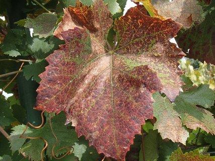 FOTKA - listy hrozna na jeseň