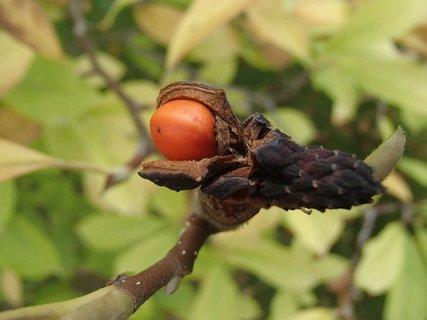 FOTKA - plod na magnólii