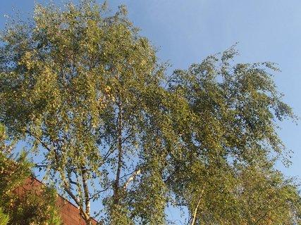 FOTKA - breza
