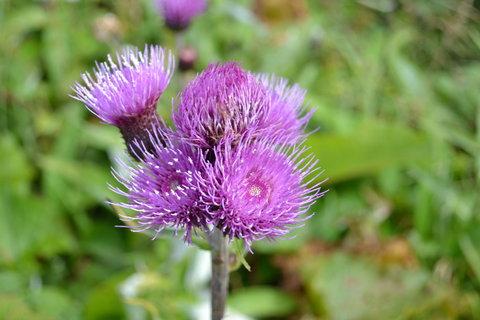 FOTKA - Krkonoše-místní květena