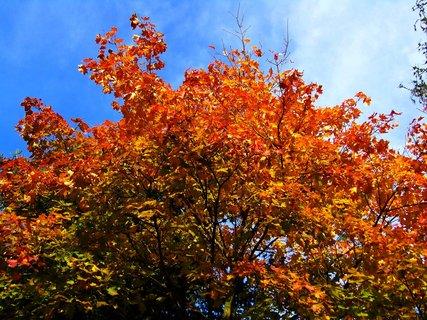 FOTKA - 25.10.12, zbarvený javor.,,,,