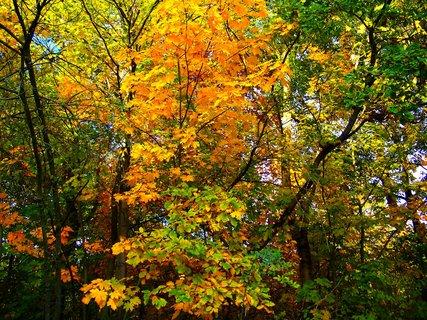 FOTKA - 25.10.12, javor mezi stromy...