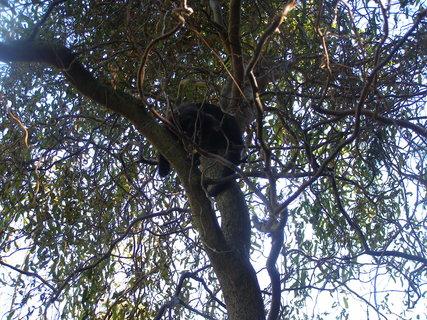 FOTKA - kočka stromová..