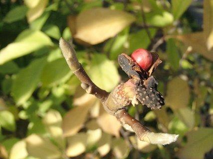 FOTKA - plod magnólie