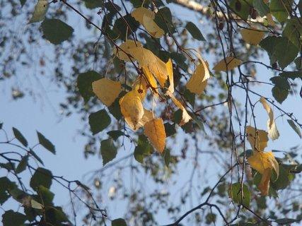 FOTKA - lístky brezy