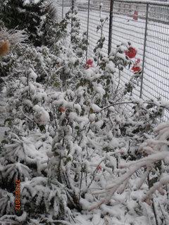 FOTKA - Růže včera kvetly dnes mají peřinku