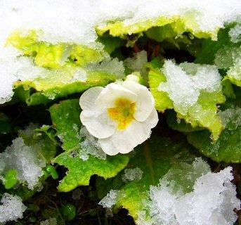 FOTKA - 27.10.2012, první letošní sníh zasypává květy na zahrádce