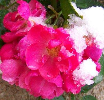 FOTKA - 27.10.2012, zasypaná pnoucí růže..