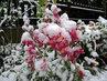 Hledíky se sněhovou čepicí