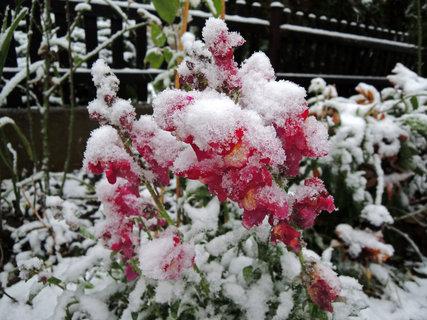 FOTKA - Hledíky se sněhovou čepicí