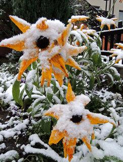 FOTKA - kytičky se slunka už nedočkaly, zato je zasypal sníh