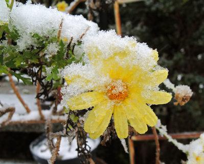 FOTKA - žlutá kopretina se sněhem za krkem
