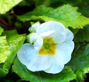 FOTKA - 28.10.2012, bílý květ petrklíče s kapkami po sněhu..