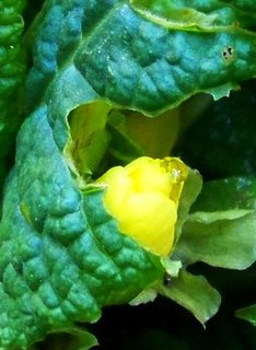 FOTKA - 28.10.2012, poupě žlutého petrklíče, jestlipak se rozvine???