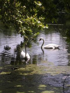 FOTKA - rybníček s labutěmi