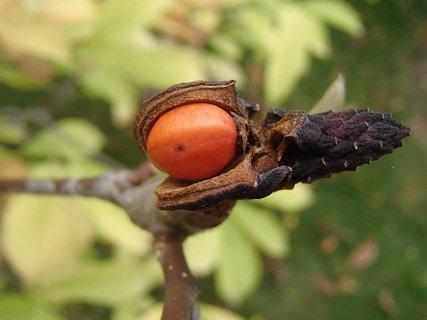 FOTKA - krásny plod magnólie