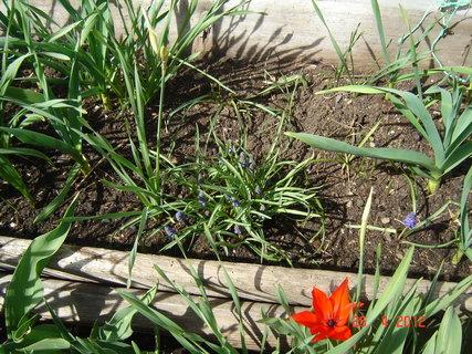 FOTKA - z jara tam kvetou kytky a pak roste česnek ,cibulka a kopřik,v loni tam byli i cukety ,letos slimaci sežrali