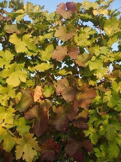 FOTKA - listy hrozna v polotieni