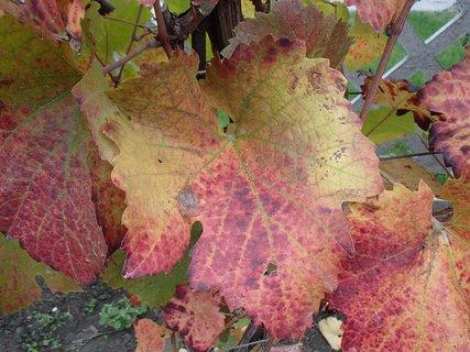 FOTKA - sfarbené listy hrozna