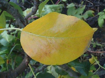FOTKA - list jablone