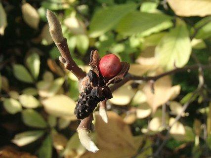 FOTKA - plody jesene-magnólia
