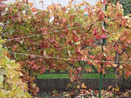 FOTKA - listy hrozna sfarbené jeseňou