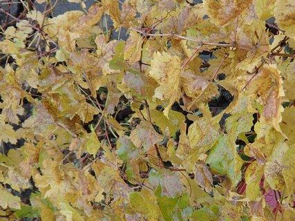 FOTKA - listy hrozna sfarbené jeseňou.