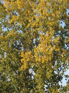 FOTKA - topoľ žltne