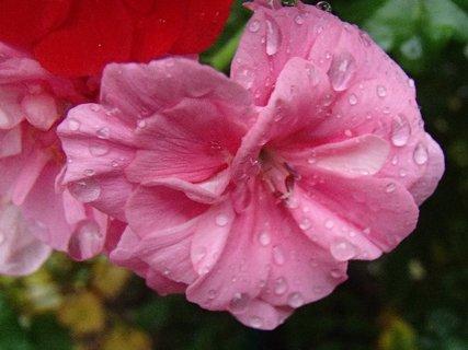 FOTKA - muškát po daždi,