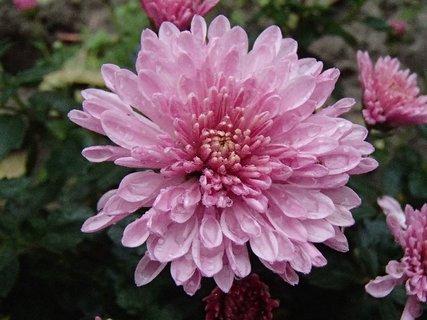 FOTKA - kvapky dažďa na chryzantéme.