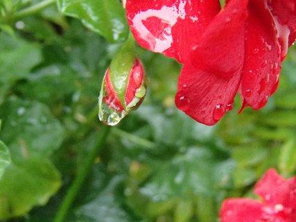 FOTKA - muškát po daždi,,,