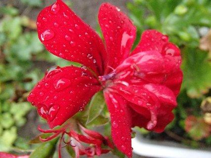 FOTKA - muškát po daždi,,,,
