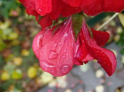 FOTKA - muškát po daždi,,,,,,