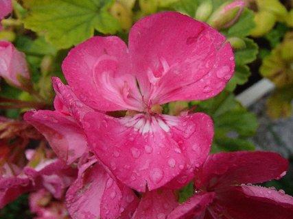 FOTKA - muškát po daždi,,,,,,,,
