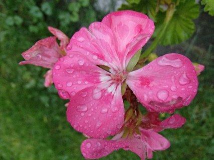 FOTKA - muškát po daždi,,,,,,,,,,,